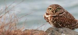 burrowing-owl-bird-athene-cunicularia-hypugea